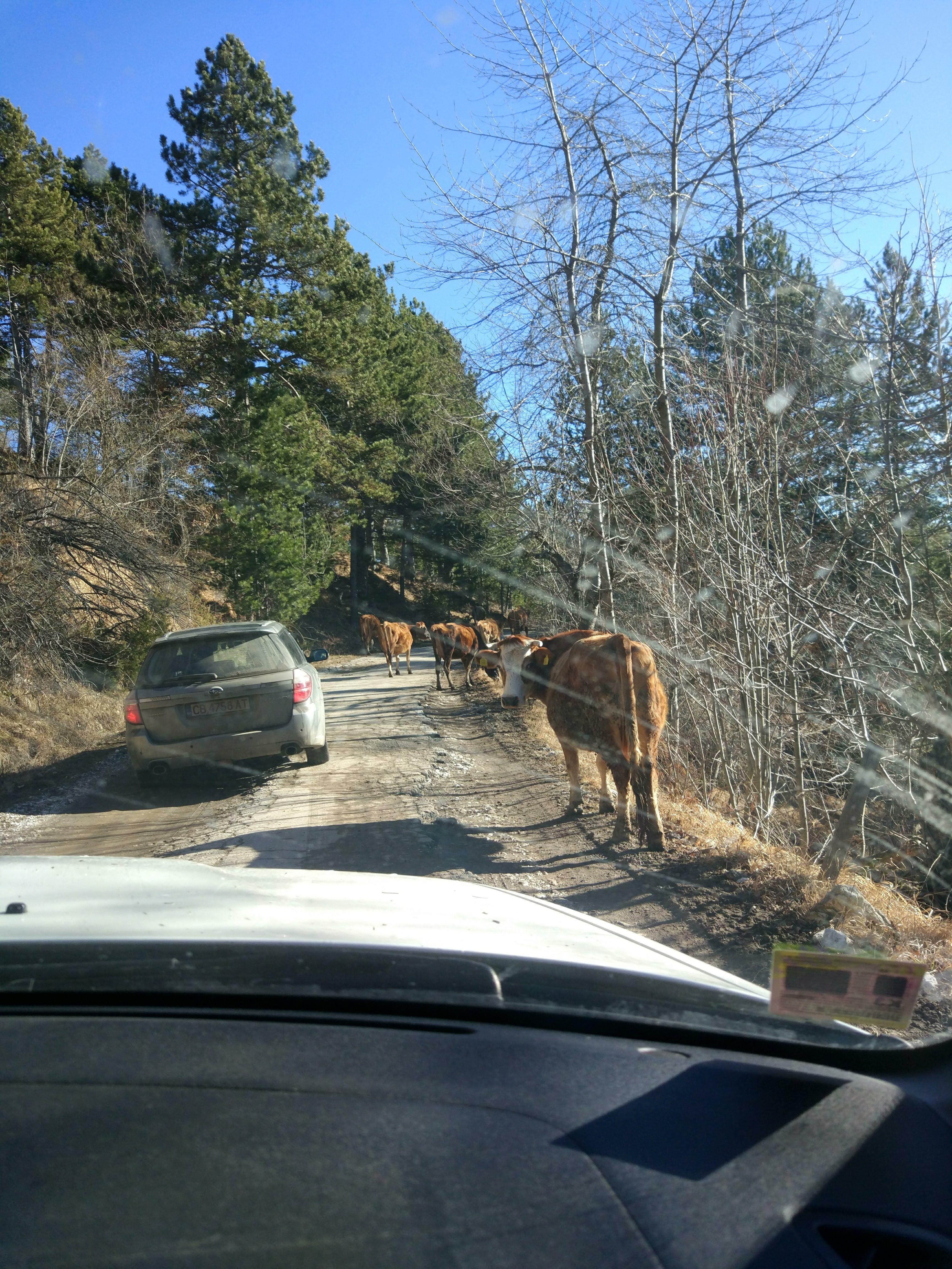 #cows #road #bulgaria #levochevo #rodopi #mountain